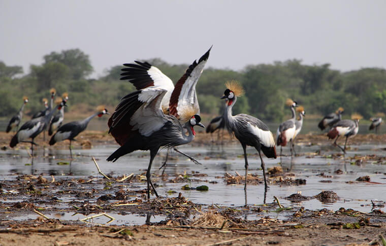 Grey cranes standing in a muddy lake