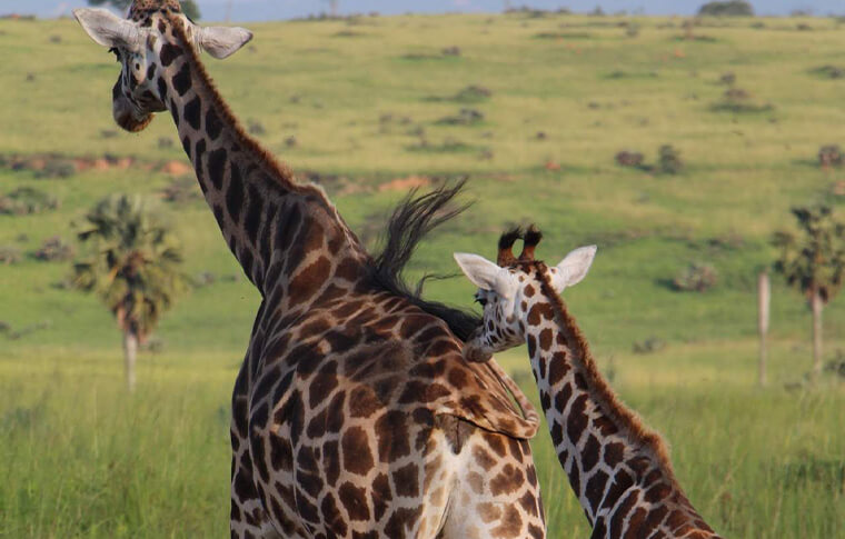 Giraffe with its baby