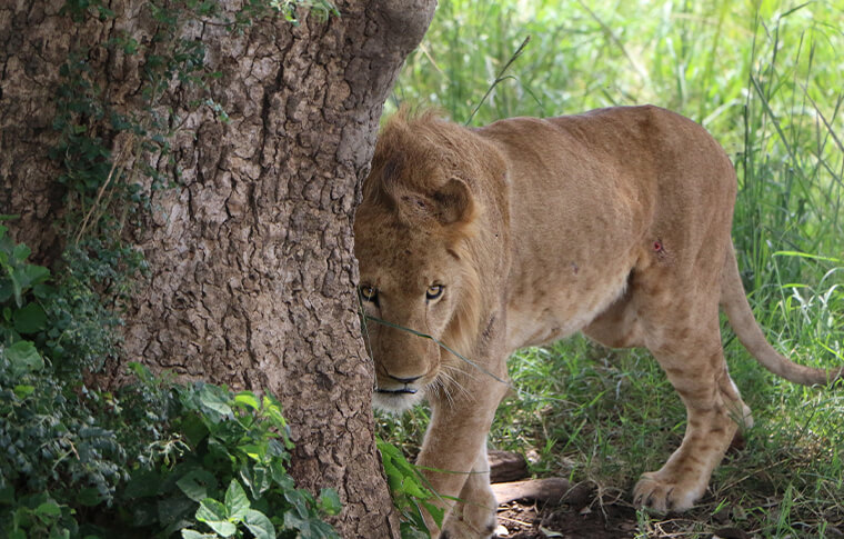Lion lurking behind a tree