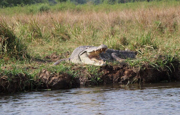 Crocodile at the edge of a lake with its jaws open