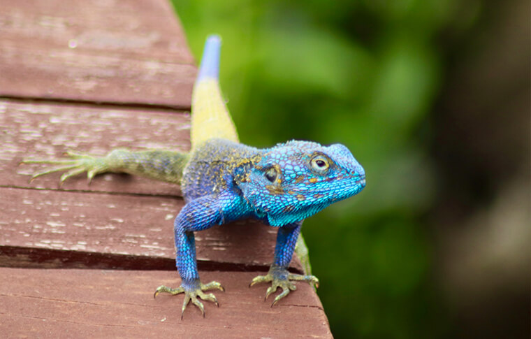 Blue and yellow lizard