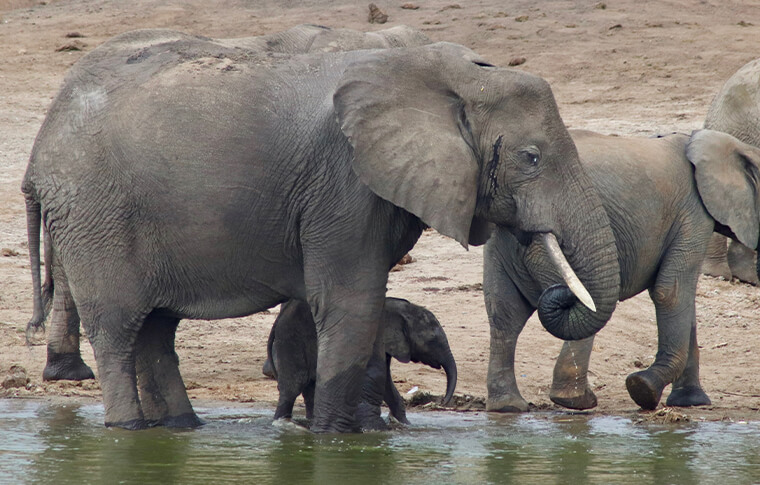 Elephant herd drinking from the lake