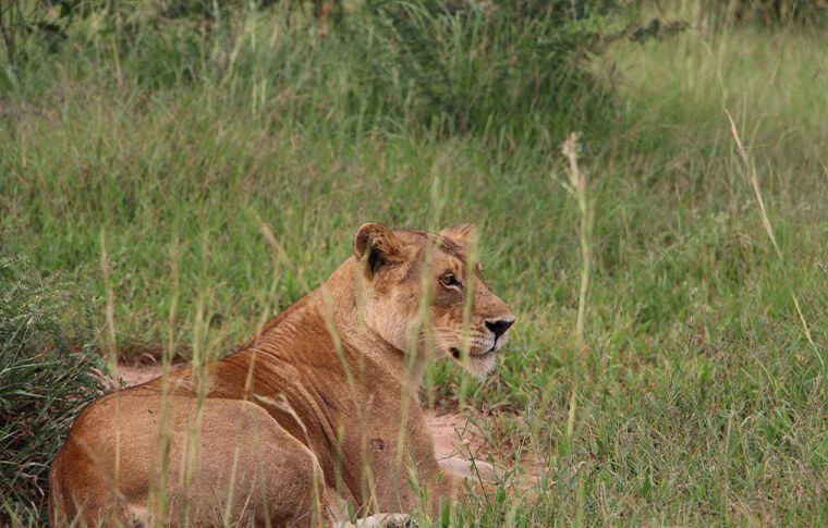 Female lion lying in the grass