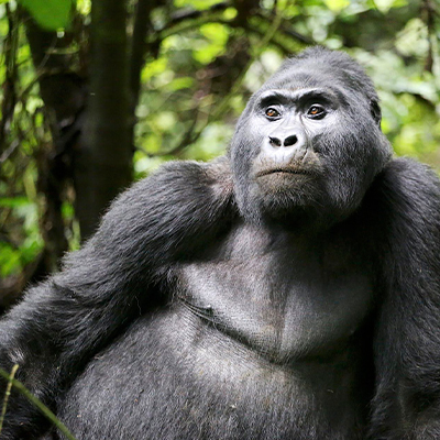 Mountain gorilla deep in thought 400x