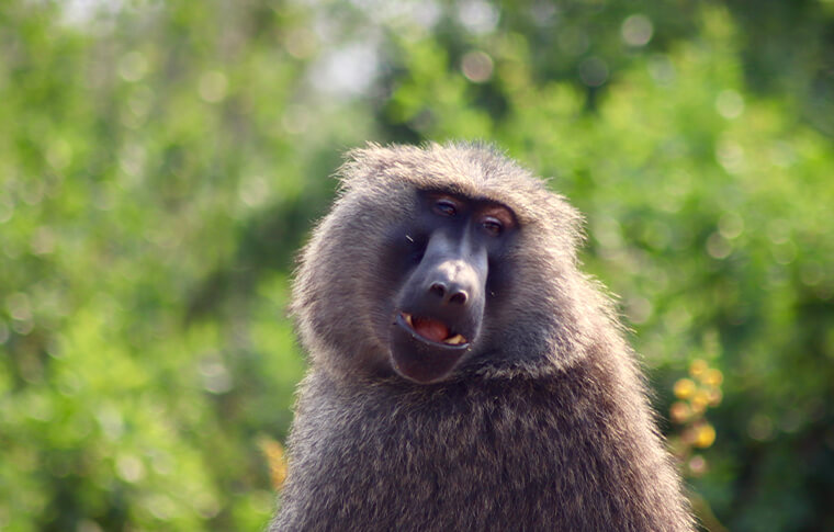 Olive baboon posing for photo