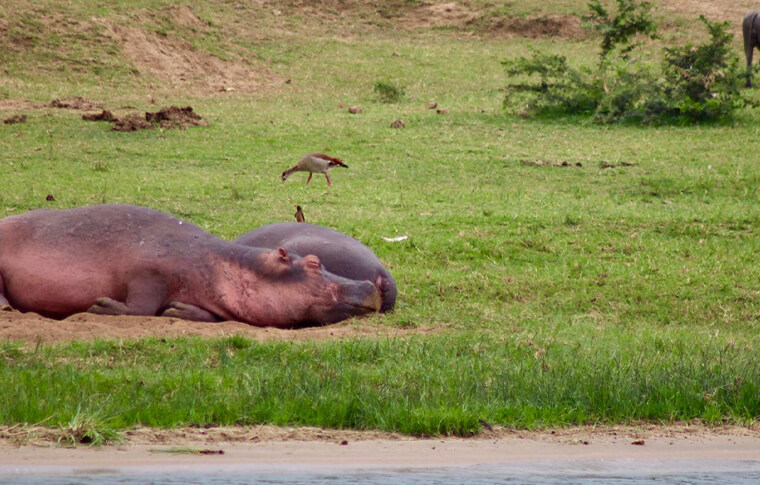Hippos sleeping on the grass
