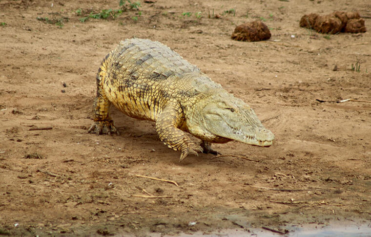Crocodile walking over dry ground