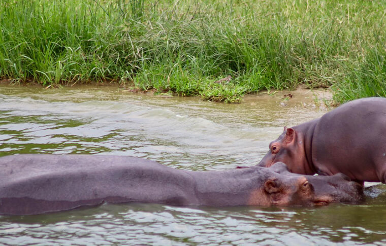 2 hippos bathing in the lake