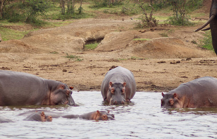Herd of hippos swimming and drinking in the lake
