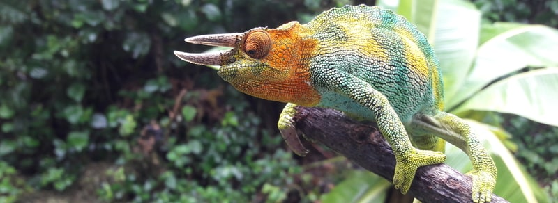 three horned chameleon