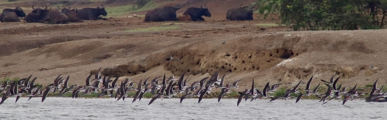 African skimmers on Kazinga Channel